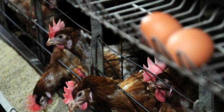 Yumurta üretimi yüzde 0,9 azaldı