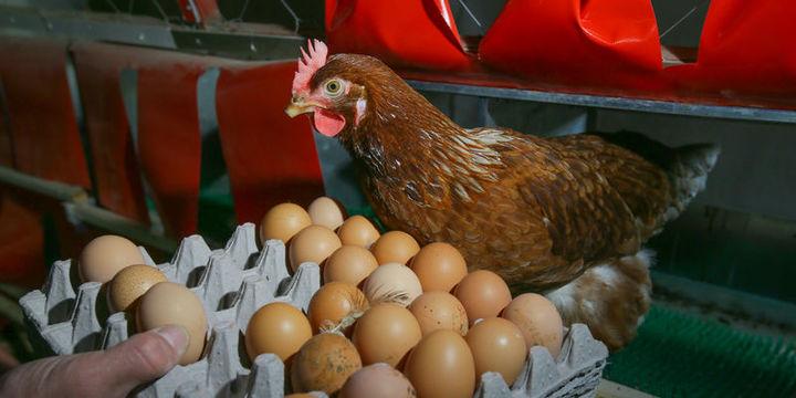 Yumurta ihracatı yüzde 59 arttı