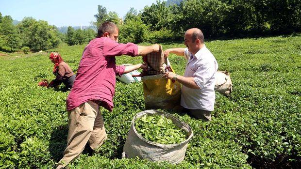 Sütlüoğlu: Organik tarımla çay 24 ayara çıkacak