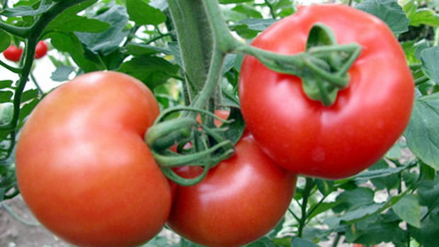 Rusya: Türkiye'den domates alımına yönelik yasak en az üç yıl devam edecek