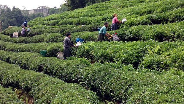 Çayda iş gücü maliyeti 8 yılda 3'e katlandı