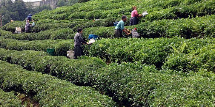 Çayda iş gücü maliyeti 8 yılda 3