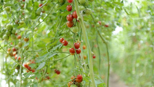 Rusya Türkiye'den domates ithalatına mevsimsel olarak izin verebilir