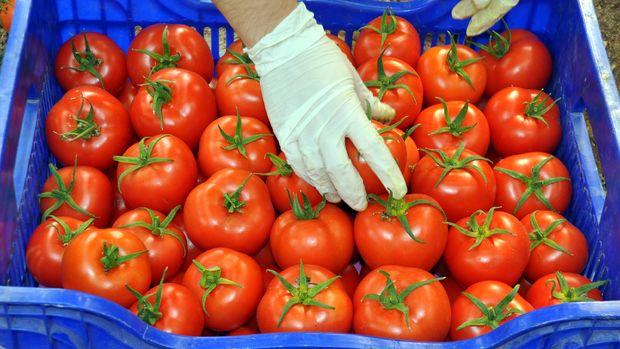 Rusya'ya 1 yıl 11 ay sonra ilk domates ihracı