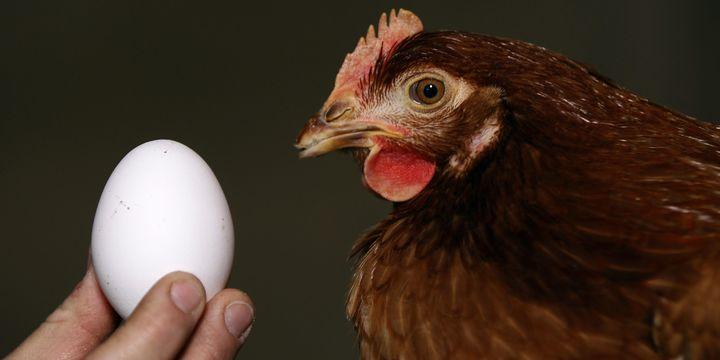 Yumurta ve tavuk eti üretimi Kasım