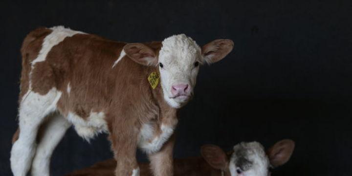 Sığır yetiştirene ve sertifikalı tohum kullanana 100 bin lira faizsiz kredi