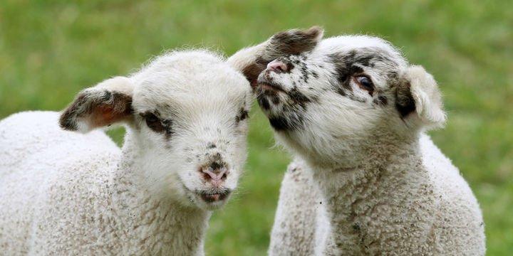 300 koyun projesinde koyunlar Nisan