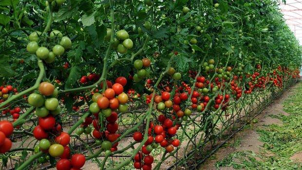 Rusya'dan 2 şirkete daha domates ithalatı izni