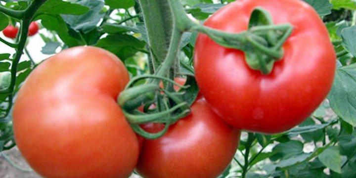 Rusya Türk domatesine yönelik kısıtlamaları kaldırabilir