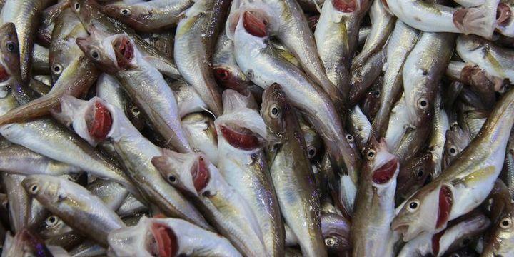 """Tezgahların en pahalı balığı """"mezgit"""" oldu"""