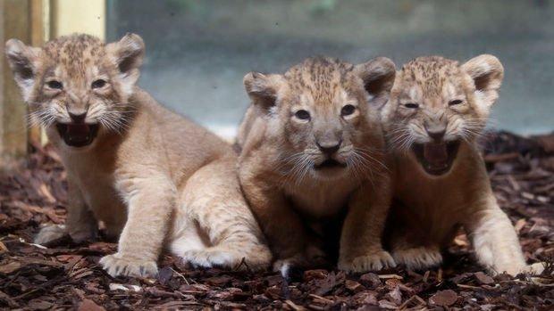 Almanya'da aslan, kaplan ve jaguar hayvanat bahçesinden kaçtı