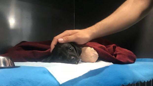 Sakarya'da bacakları kesilen yavru köpekle ilgili açıklama