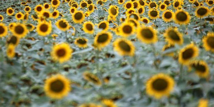 Ayçiçeği tohumunda gümrük vergisi artırıldı