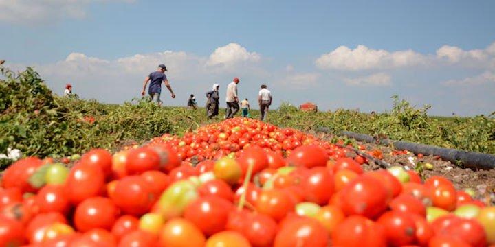 Salçalık domates hasadı başladı