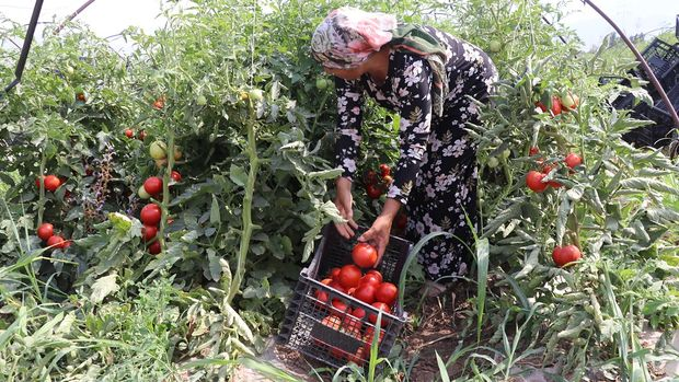 Kilosu 2,5 TL olan 'süper domates'e yoğun ilgi