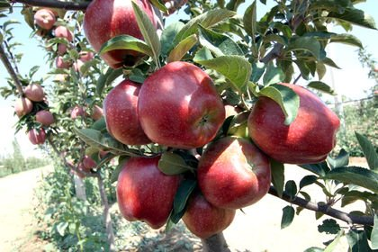 Bodur elma hasadı başladı