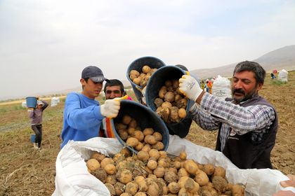 Sivas'ta 7 çeşit yerli patates üretildi
