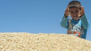 Arpa ve buğdayda prim desteği 5 kuruştan 10 kuruşa çıkarı...