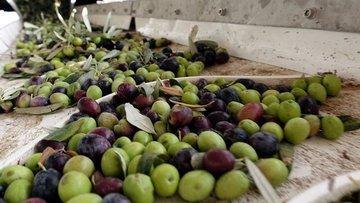 Az yağış Hatay'da zeytin rekoltesini düşürdü