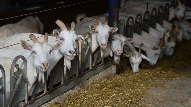 Dubai'nin sütü ve peyniri Gökçeada'dan gidiyor