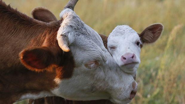 İsviçre ineklerin boynuzu için referanduma gidiyor