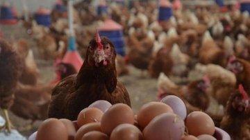 Tavuk yumurtası üretimi Ocak'ta arttı