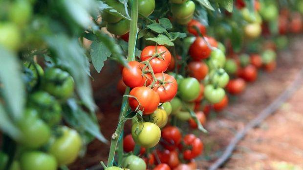 Rusya'ya domates ihracatı 47 milyon 521 bin dolara çıktı