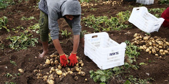 Turfanda patates hasadı başladı