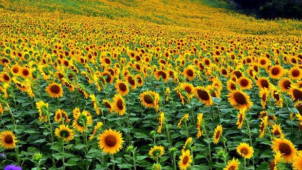 Sıfır gümrükle 100 bin ton yağlık ayçiçeği tohumu ithal edilecek