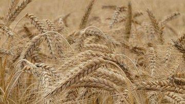TUSAF'ın buğdayda rekolte beklentisi en az 20 milyon ton