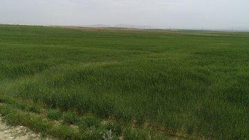 """""""Buğday ekim alanlarındaki daralmayı yağışlar telafi etti"""""""