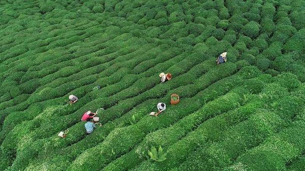 ÇAYKUR: Kaliteli çay alımına devam ediyoruz