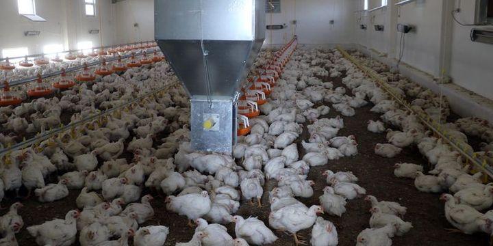 Dünya tavukçuluk sektörü İstanbul'da buluşuyor