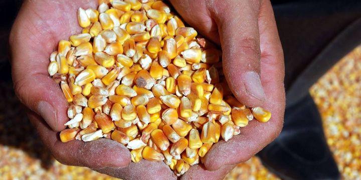 Yumurta üreticilerine 90 gün vadeli mısır satışı
