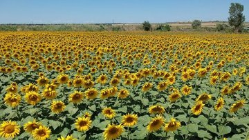 Trakya Birlik ayçiçeği ön alım fiyatını açıkladı