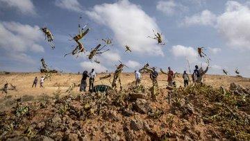 """Afrika'da """"çekirge istilası"""" bölgede gıda krizi riskini g..."""