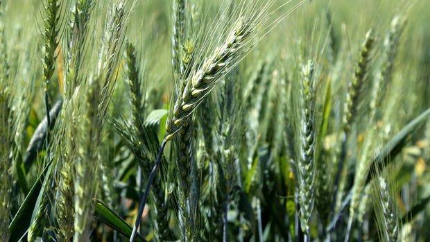 Rusya tahıl bazlı ürünlerin ihracatını askıya aldı