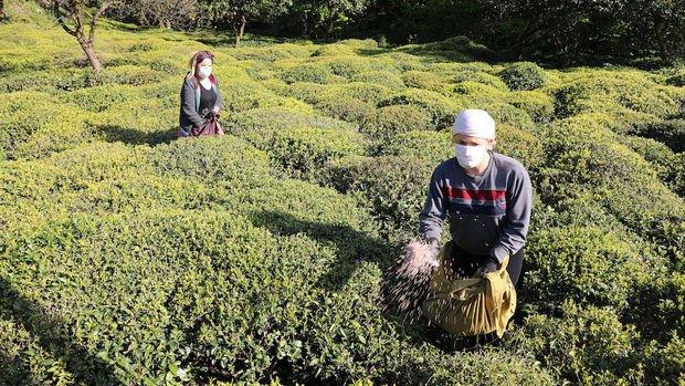 6 bin 900 TL maaşla 2 bin çay işçisi aranıyor
