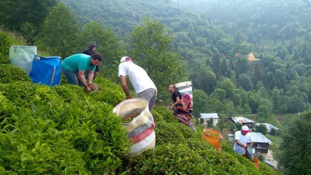 Çay hasadında işçi krizi için 3 bakanlık 2 formül ile devrede