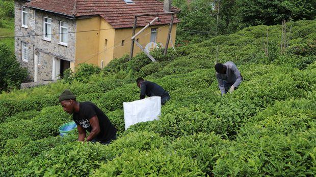 Çay hasadını Senegal, Afgan ve Özbekler yapıyor