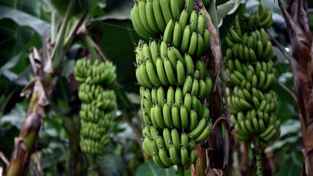 Yerli muz üreticileri 2023'te ithalata son vermeyi hedefliyor