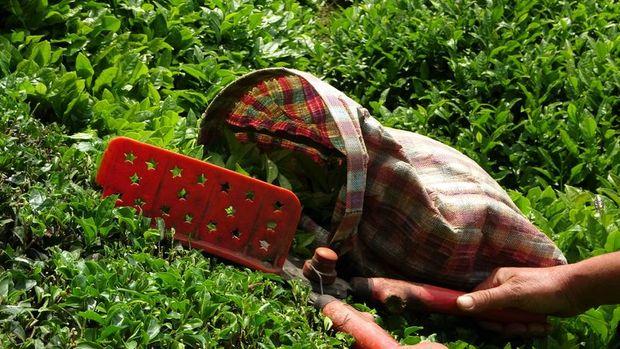 Çay ihracatı Ocak-Mayıs döneminde yüzde 47,5 arttı