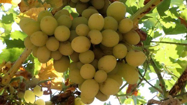 Yok olmaya yüz tutmuş 23 üzüm çeşidi üretime kazandırılacak