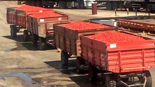 Türk Şeker 50 bin ton salçalık domates alacak