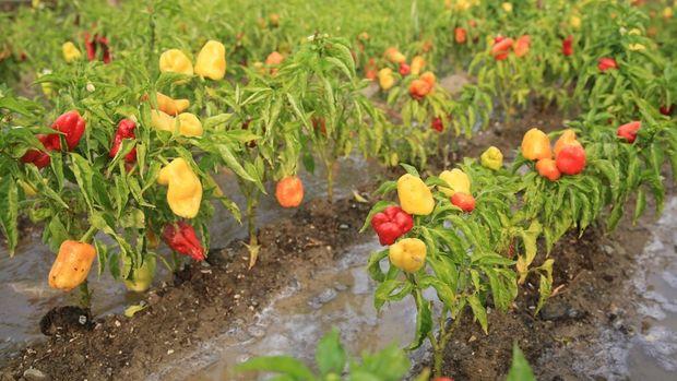 Kent Bostanlarında 34 çeşit domates, 24 çeşit biber üretildi