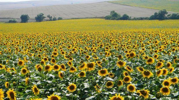 Rusya, ayçiçek ürünleri ihracatına yüzde 30 ek vergi getirmeye hazırlanıyor