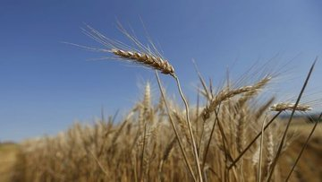 Buğday fiyatları 6 yılın zirvesine çıktı