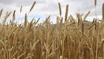 ABD Tarım Bakanlığından çiftçilere 2,3 milyar dolarlık ek...
