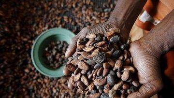 Çikolata savaşları kakao üreticilerini zorluyor
