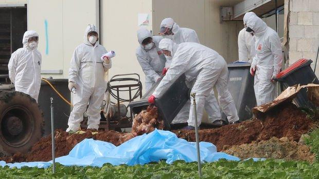 Güney Kore'de kuş gribi alarmı: 22 milyon kümes hayvanı itlaf edildi